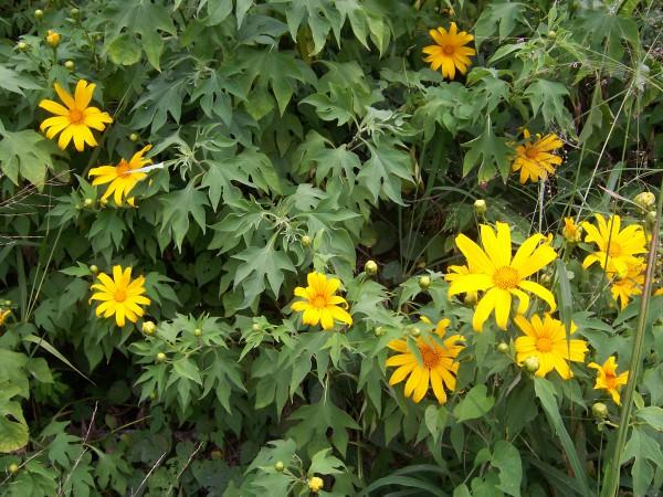 Tithonia diversifolia, oder mexikanische Sonnenblume, wird von tansanischen Bauern am Feldrand gepflanzt, um Mottenschildläuse anzulocken, die sich sonst über die Maniokpflanzen hermachen würden. Foto: B. Naves, CCL